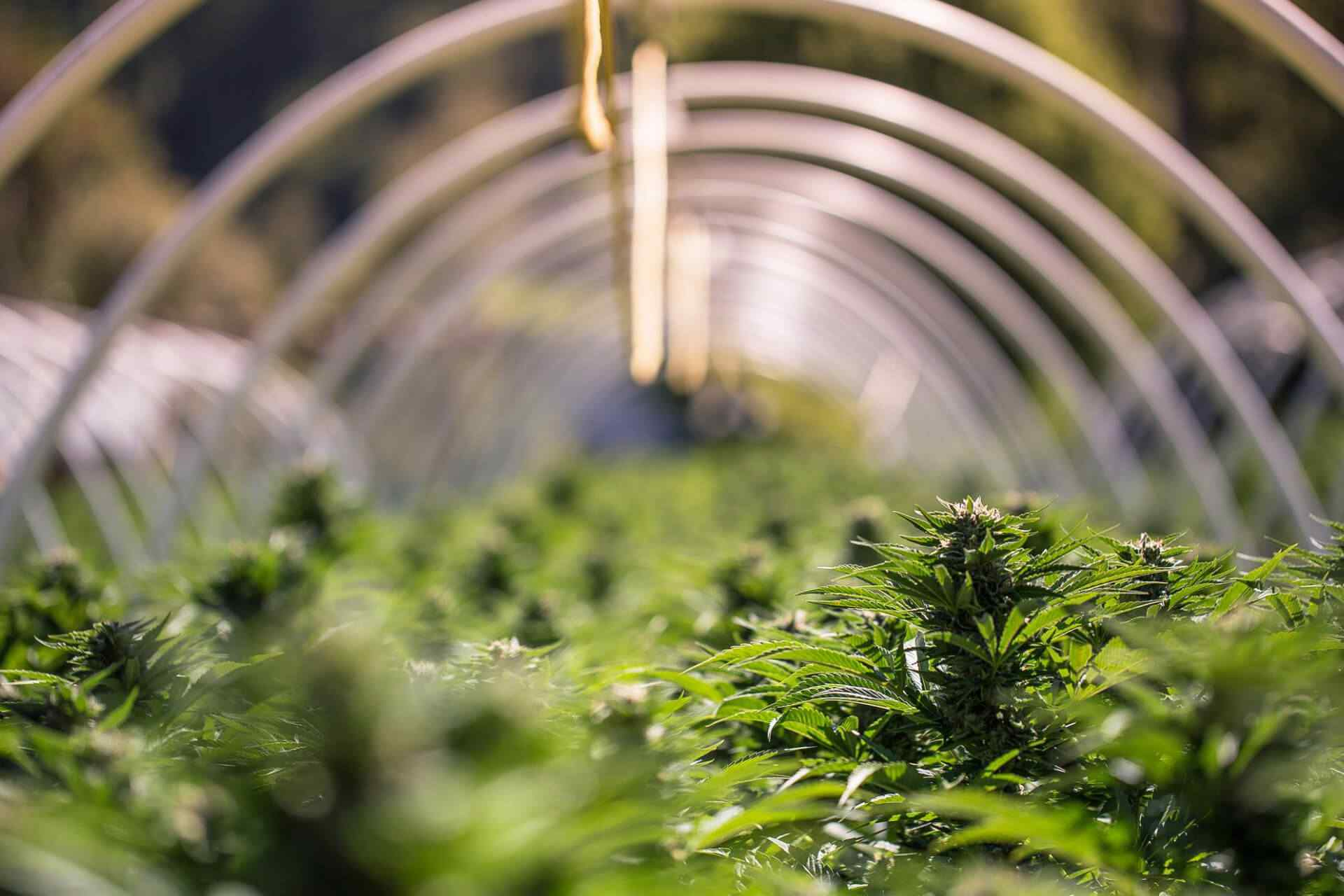 What you need to know about weed stems